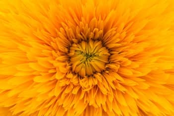 seedless sunflower