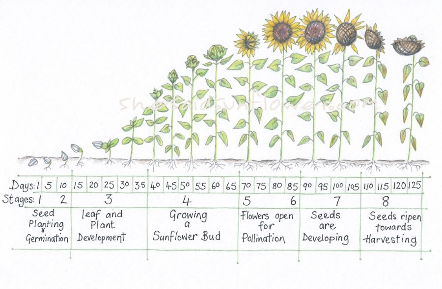 the complete sunflower growth timeline chart
