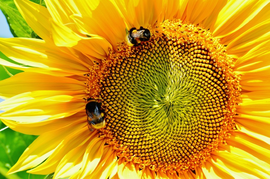 The Fibonacci Sequence is found all around us in nature
