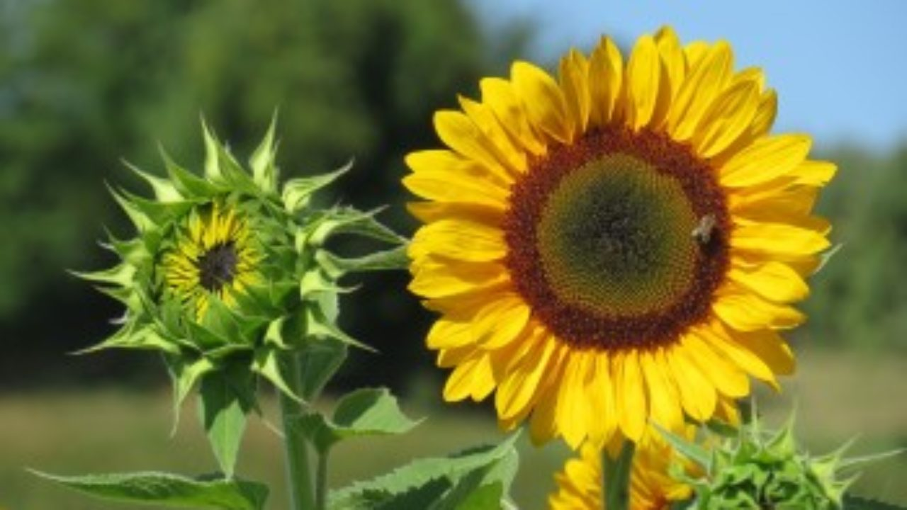 Sunflower Growth Timeline And Life Cycle 8 Stages With