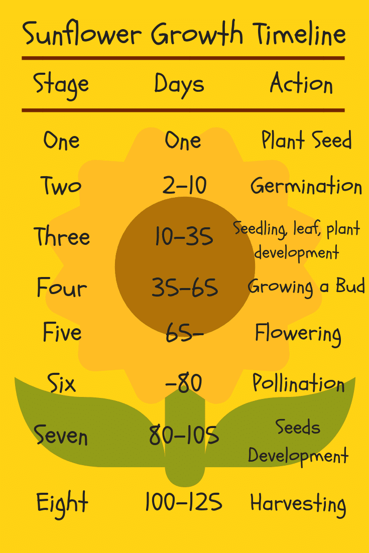 Sunflower Growth Timeline and Life Cycle - 8 Stages (With ...