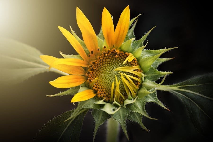 Sunflower Growth Timeline and Life Cycle - 8 Stages (With
