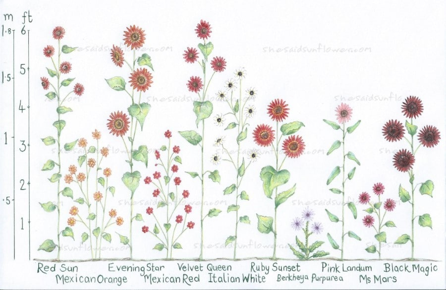 colored sunflower height illustration