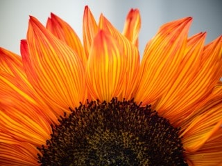 most wonderful sunflowers tried and tested