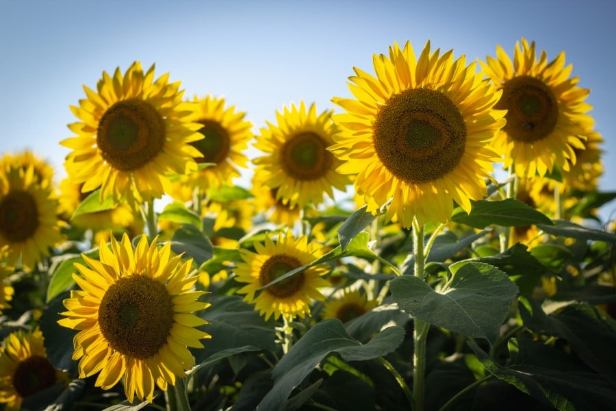 tips for the best grown sunflowers