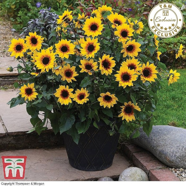Sunbelievable is ideal for containers and bedding