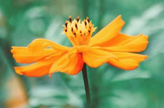 mexican sunflower (post)