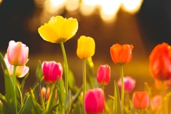how to grow tulips in spring
